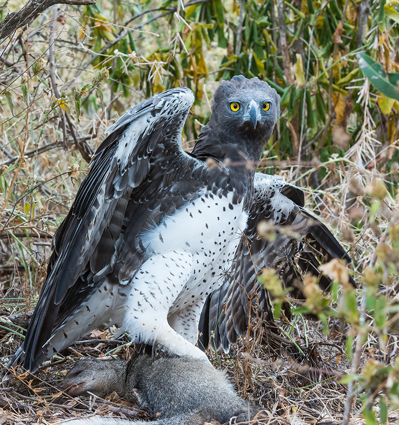 Happy snappers unwittingly gather valuable Martial Eagles data