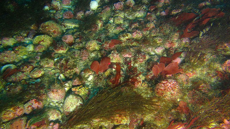 This photo, captured by the ROV, shows a rhodolith bed off the Kei River mouth, South Africa.
